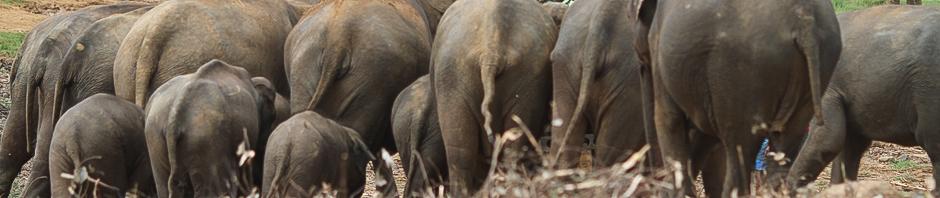 012-Sri_Lanka_2012_-_Elefantenpopos