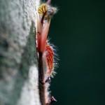 Cat Ba - Blüte am Baum