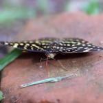 My Son - Schmetterling