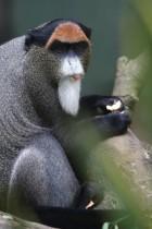 Affe mit Zunge